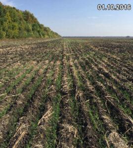 Равномерные, несмотря на отсутствие осадков, всходы озимой пшеницы, высеянной сеялкой Mzuri