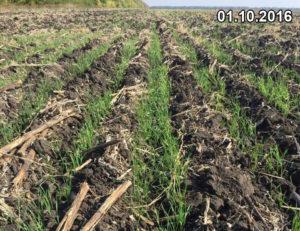 Равномерные, несмотря на отсутствие осадков, всходы озимой пшеницы, высеянной сеялкой Мзури