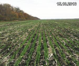 Состояние всходов озимой пшеницы, высеянной сеялкой Мзури, после выпадения осадков