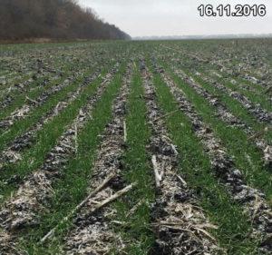Состояние всходов озимой пшеницы, высеянной сеялкой Мзури, перед входов в зиму