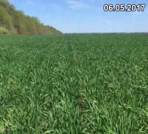 Состояние озимой пшеницы, высеянной сеялкой Мзури, в начале мая 2017 г.
