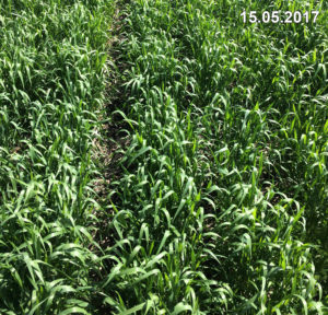 Состояние озимой пшеницы, высеянной сеялкой Mzuri, в середине мая 2017 г.