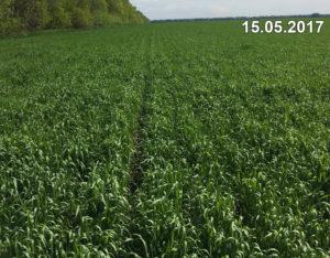 Стан озимої пшениці, висіяної сівалкою Mzuri, в середині травня 2017 р