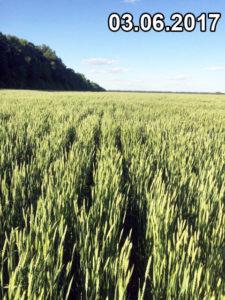 Отличное состояние без болезней и вредителей пшеницы, высеянной сеялкой Мзури, на июнь 2017г.