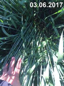 Отличное состояние без болезней и вредителей пшеницы, высеянной сеялкой Mzuri, на июнь 2017г.