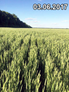 Відмінний стан без хвороб і шкідників пшениці, висіяної сівалкою Мзурі, на червень 2017р.