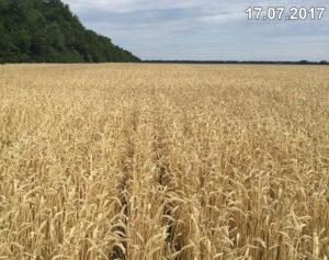 Состояние озимой пшеницы, высеянной комплексом Мзури, в июле 2017 г. перед уборкой
