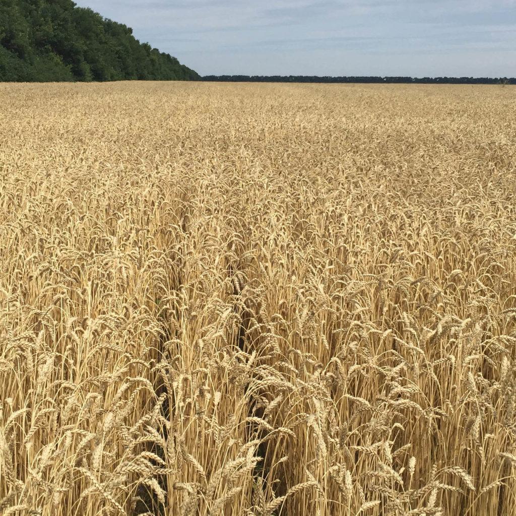 Пшеница по технологии Strip-Till